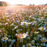 Rachel Wallace – Sundown Daisies
