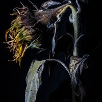 William Hindle - Decaying Sunflower